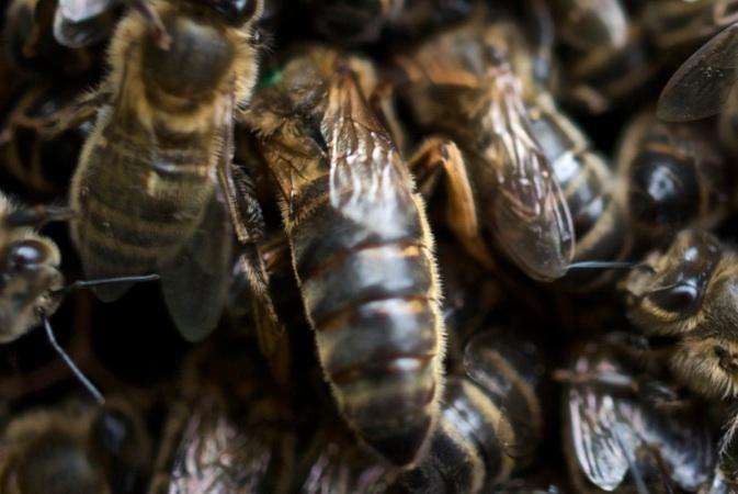 image of black honeybees