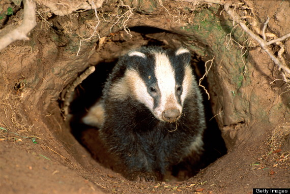 Image of a badger