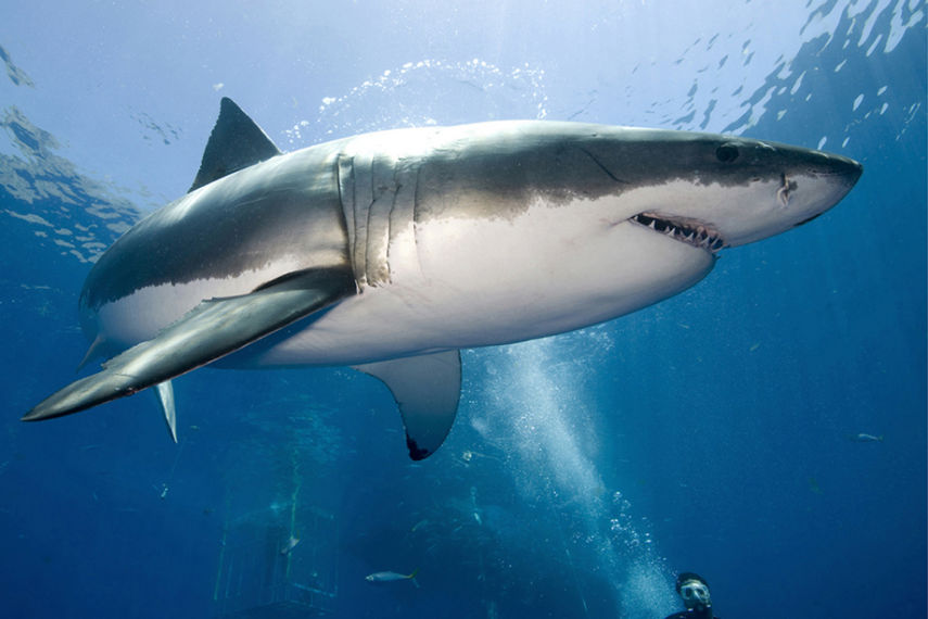 123_1Great_White_Shark_Perfect_Proportion