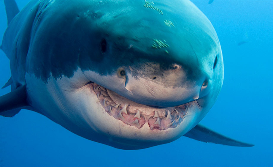 413_1teeth_shadow_great_white_shark