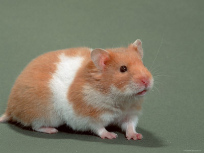 Image of a hamster