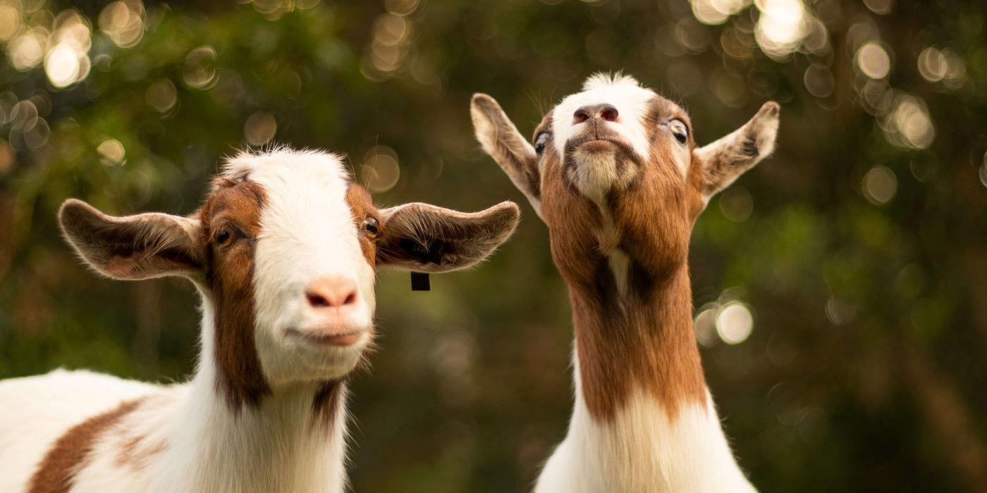 Image of goats